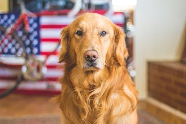 best_mobility_assistance_dog.jpeg