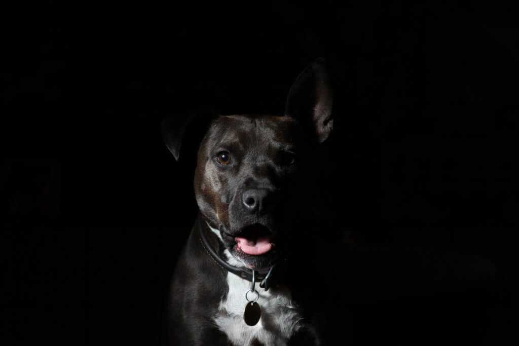 American_Staffordshire_Terrier.jpeg