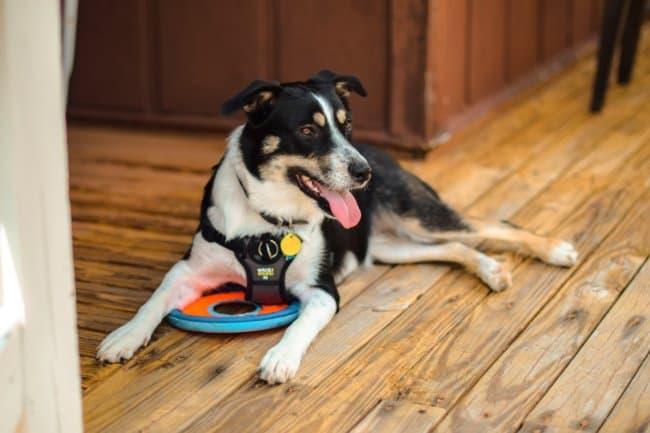 best_mobility_assistance_dog_breeds.jpeg
